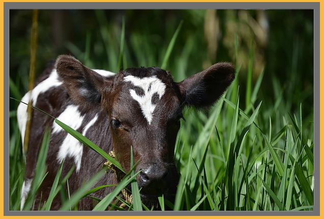 calf-border